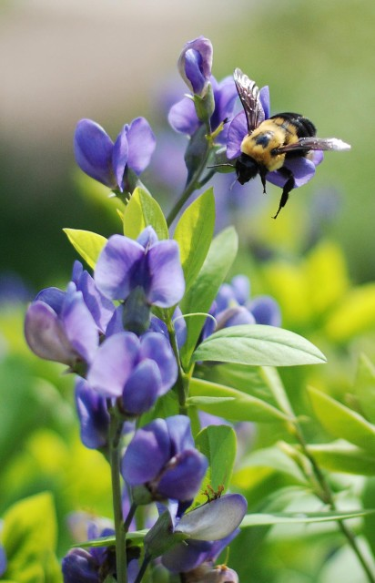 Baptisia and bumblebee