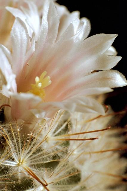 Mammillaria pennispinosa