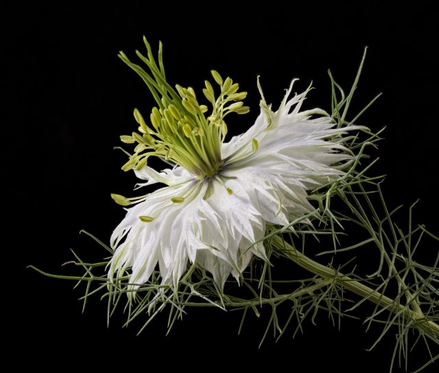"Nigella damascena ""Persian Jewels"""