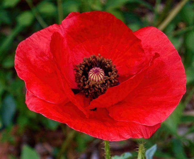 Common red poppy, Papaver rhoeas