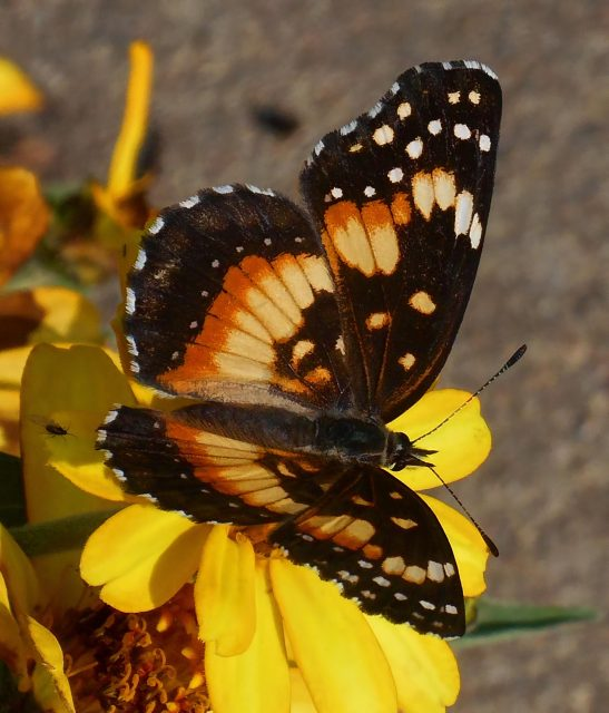 Slivery checkerspot, Chlosyne nycteis