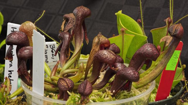 Darlingtonia californica, with Heliamphora at right