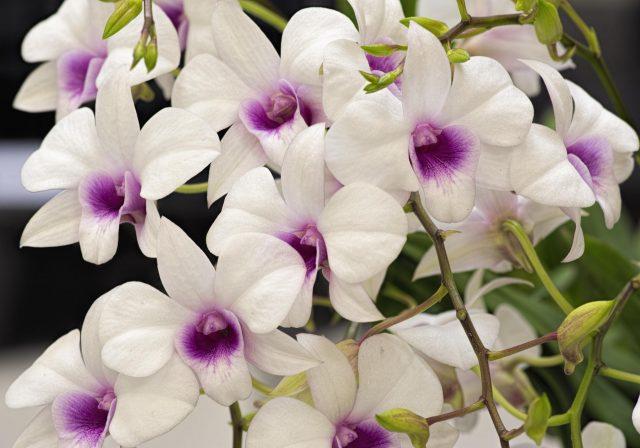 Dendrobium Thai Jewel