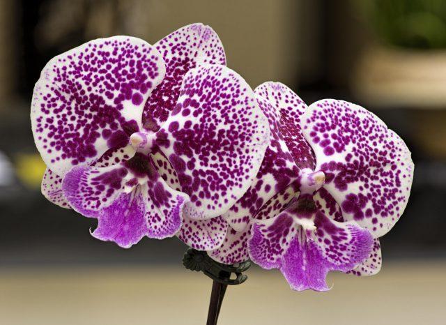 Phalaenopsis unregistered hybrid