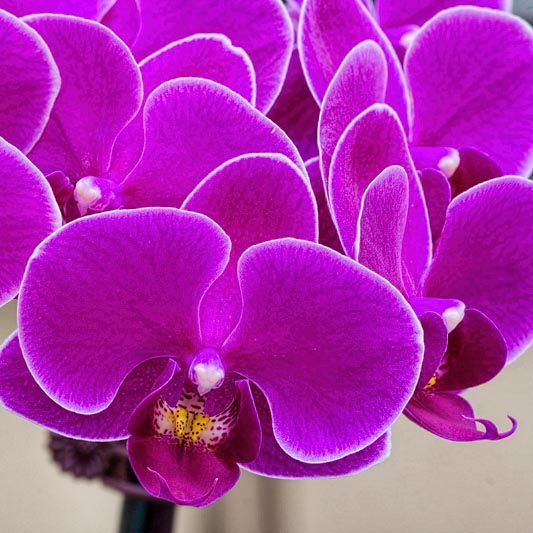 Orchid show, third pair of tables