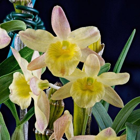 "Dendrobium ""Spring Bird"""
