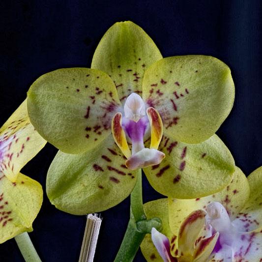 Phalaenopsis, again