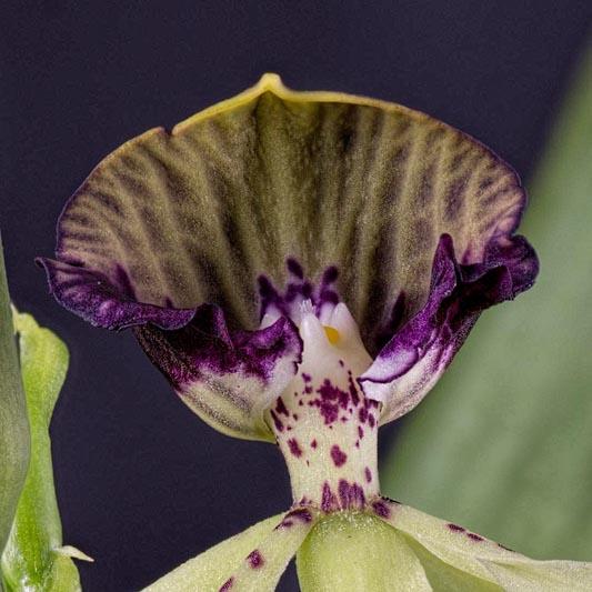 Prosthechea, Epidendrum